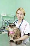 Birman cat to the vet Stock Photography
