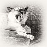 Birman cat yawning on a pillow of the sofa. Closeup of a seal tortie point Birman female cat yawning on a pillow of the sofa. Black and white fine art portrait Royalty Free Stock Images