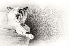 Birman cat yawning on a pillow of the sofa. Royalty Free Stock Photos