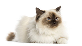Birman cat, 3 years old, lying. Isolated on white Royalty Free Stock Photography
