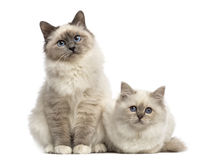 Birman cats looking at the camera, isolated royalty free stock photography