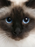 birman close upp Arkivbild