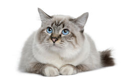Birman in front of a white background Stock Image