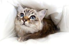 Birman Kätzchen in einem Bett Stockbild