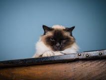 Birman katt med vresig blick på hans framsida Fotografering för Bildbyråer