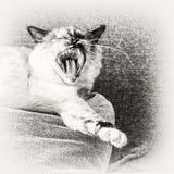Birman katt som gäspar på en kudde av soffan Royaltyfria Bilder