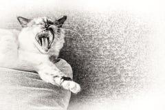 Birman katt som gäspar på en kudde av soffan Royaltyfria Foton