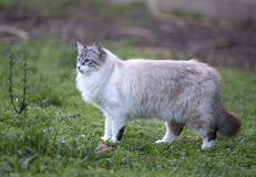 Birman-Katze in der Natur Stockbild