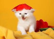 Birman Katze mit roter Tulpeblumenschutzkappe Stockbilder
