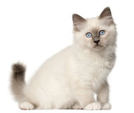 Birman kitten, 3 months old, sitting Royalty Free Stock Image