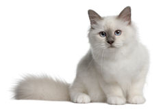 Birman Kitten, 4 months old, sitting Stock Photography
