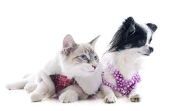 Birman kitten and chihuahua Stock Images
