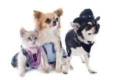 Birman kitten and chihuahuas Royalty Free Stock Photo