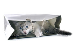 Birman kitten in craft Royalty Free Stock Photography