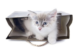 Birman kitten in craft Stock Photos