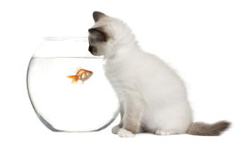 Birman Kitten looking in goldfish bowl Royalty Free Stock Photography