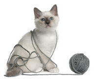 Birman Kitten playing with a ball yarn Stock Photos