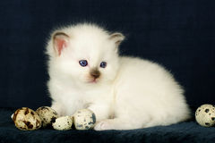 Birman kitten playing with eggs. Chcolatepoint Birman kitten with blue eyes playing with decorative Easter eggs and broke some of them Stock Images