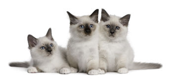 Birman Kittens, 2 months old Royalty Free Stock Photography