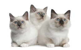 Birman Kittens, 2 months old, sitting Stock Photos