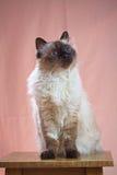 Birman kota obsiadanie na krześle Zdjęcie Royalty Free