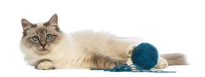 Birman lying with ball of wool and looking at camera Stock Images