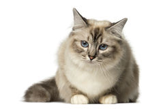 Birman lying and looking away Stock Image