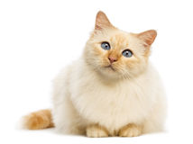 Birman lying and looking at camera Stock Photos