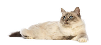 Birman lying and looking up Royalty Free Stock Photography