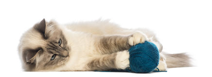 Birman lying and playing with ball of wool Stock Images