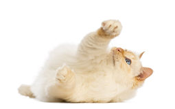 Birman lying and reaching Stock Photography