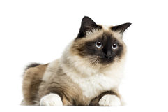 Birman lying, 3 years old, isolated Stock Image