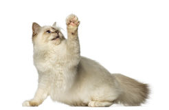 Birman pawing up Stock Images