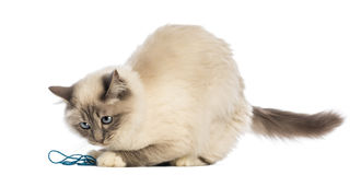 Birman playing with wool Royalty Free Stock Photography