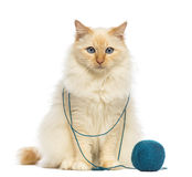 Birman sitting with ball of wool Royalty Free Stock Photography