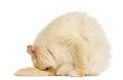 Birman sitting and cleaning itself Royalty Free Stock Photos