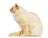 Birman sitting and looking away, side view Royalty Free Stock Photography