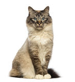 Birman sitting and looking at camera Royalty Free Stock Photo