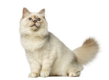 Birman sitting and looking up Stock Images