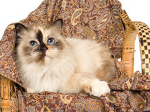 Birman tortie on brown cloth Royalty Free Stock Photos