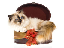 Birman tortie lying inside round gift box Stock Photography