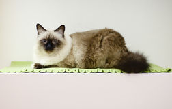 Birmanese cat Royalty Free Stock Photo