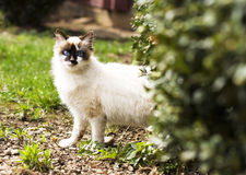 Birmanese  cat Stock Images