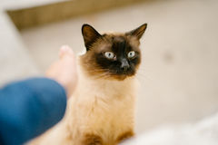 Birmanese cat Stock Photos