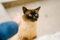 Birmanese cat Stock Photos