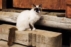 Birmanese  cat Royalty Free Stock Image