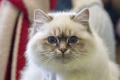 Birmania cat close up portrait Royalty Free Stock Image