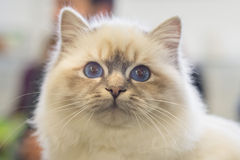 Birmania cat close up portrait Stock Photo