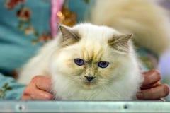 Birmania cat close up portrait Stock Images