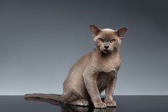 Birmania Cat Sits y mirada in camera en gris imagenes de archivo